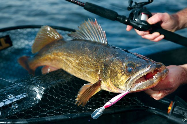 What Does Walleye Taste Like? Surprising Answer You Need ... Walleye Pictures
